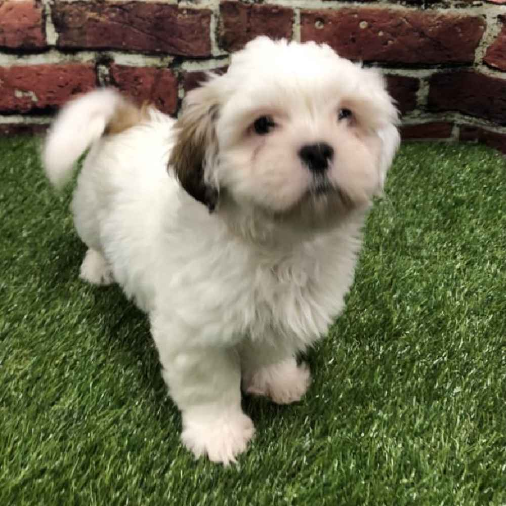 Female Lhasa Apso Puppy for sale