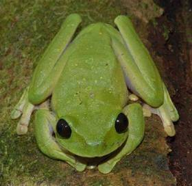 Reed Tree Frog