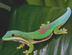 Lined Day Gecko