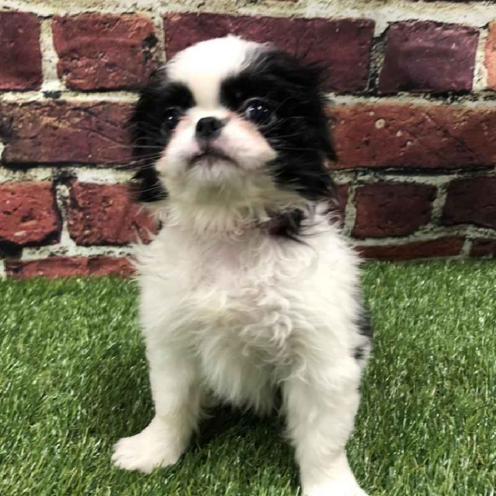 Female Japanese Chin Puppy for sale