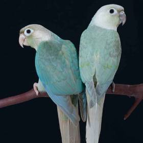 Cinnamon Turquoise Green Cheek Conure