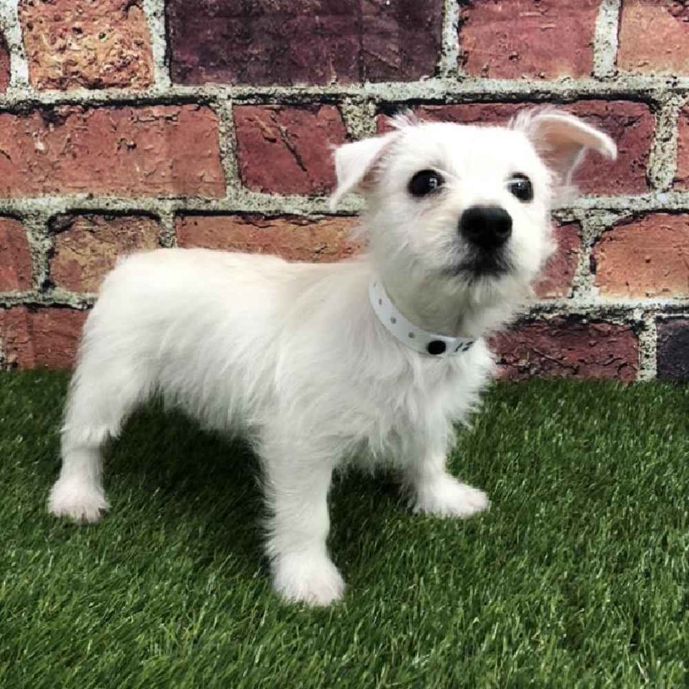 Female West Highland White Terrier Puppy for sale