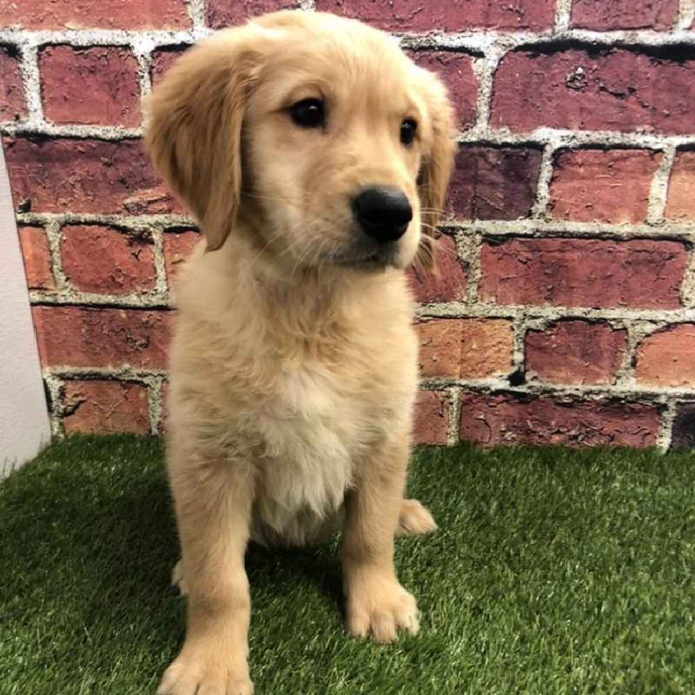 Male Golden Retriever Puppy for sale